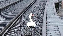 Cisne de luto atrasa trens de alta velocidade quase uma hora