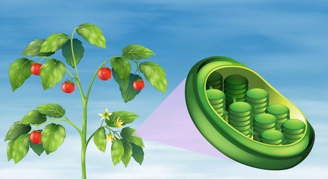 Cloroplastos - Definição, estrutura e fotossíntese