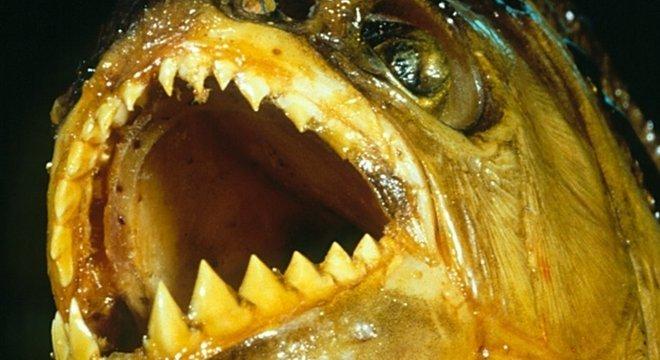 A piranha-preta tem a mordida mais poderosa entre os peixes ósseos