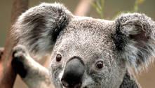 Pesquisadores na Austrália testarão 'reconhecimento facial' de coalas