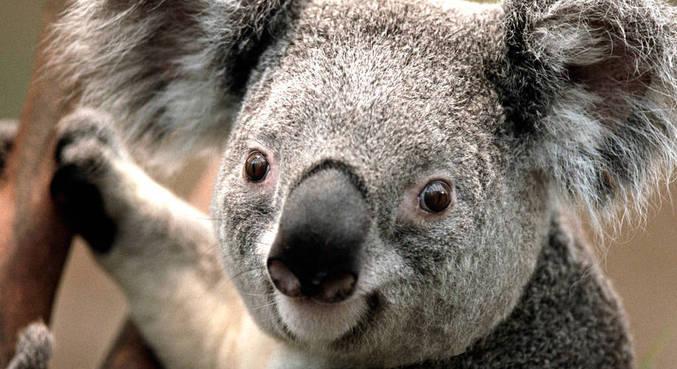 Pesquisadores australianos testarão 'reconhecimento facial' dos coalas