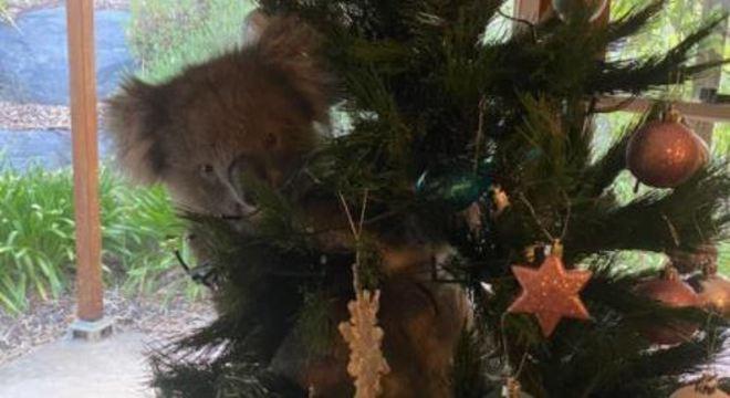 Coala ficou pendurado na árvore de Natal