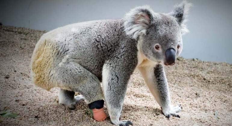 Botinha serviu para o animal, que conseguiu voltar a correr e escalar árvores