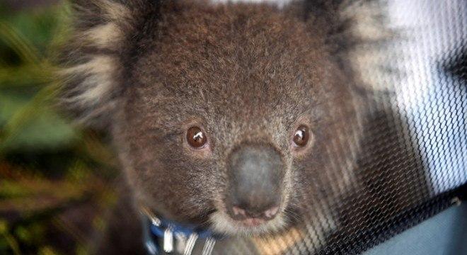 Colas podem desaparecer de Nova Gales do Sul, na Austrália, até 2050
