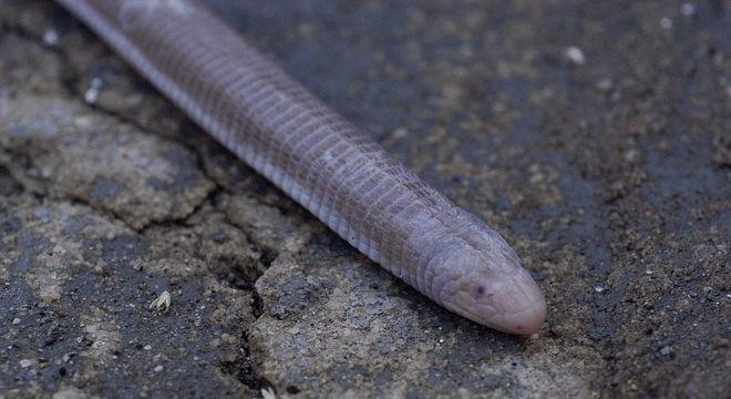 Cobra de duas cabeças - Espécie, hábitos e curiosidades sobre o animal