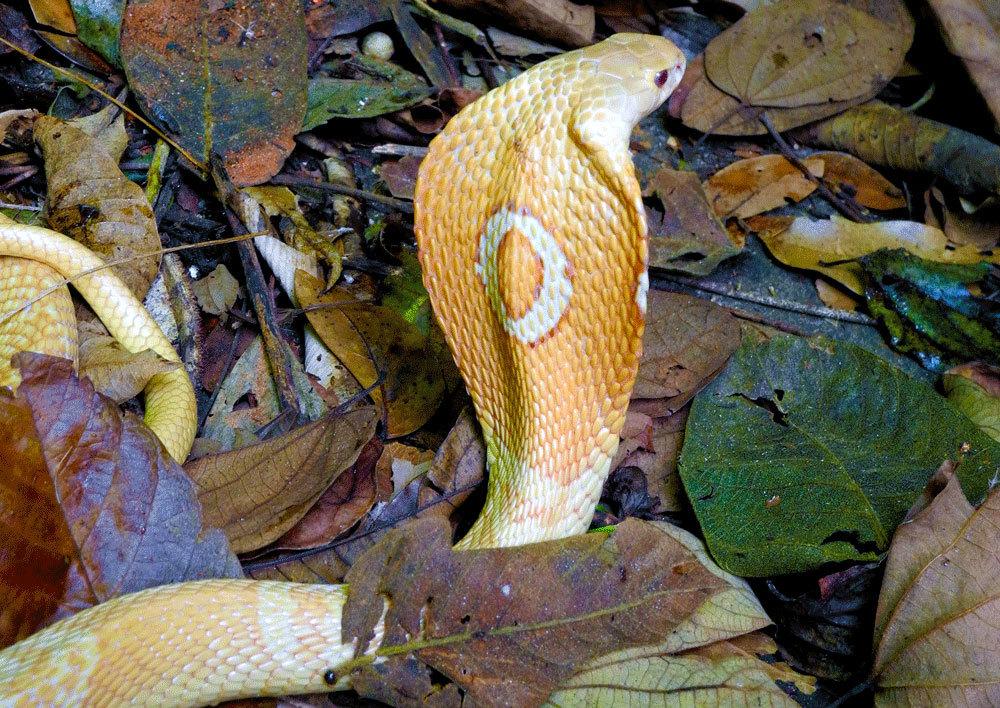 Cobra Naja kaouthia, conhecida como Naja de monóculos