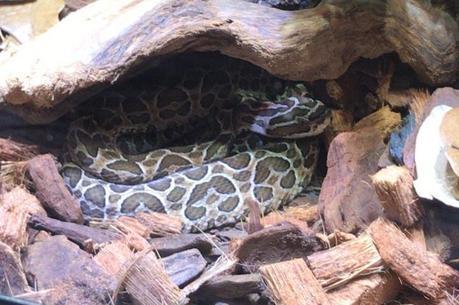 Cobra estava em residência de suspeito em SP