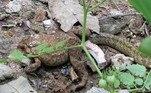 Os sapos estripados em questão pertencem à espécieDuttaphrynus melanostictus. São anfíbios conhecidos por expelirem um poderoso veneno a partir de glândulas posicionadas próximas às laterais do corpo