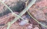 Para a nossa sorte, esses répteis não oferecem perigo aos humanos. Embora, segundoHenrik Bringsøe, herpetologista que liderou o estudo, eles tenham uma mordida dolorosa, capaz de causar 'grandes feridas'Por falar em predação, um bagre abocanhou uma cobra enquanto era devorado por outra cobra. Confira a seguir!