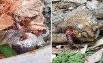 Um grupo de cientistas documentou um comportamento alimentar até então inédito entre as cobras: indivíduos da espécieOligodon fasciolatus, nativas do Sudeste Asiático, removem os órgãos de sapos ainda vivos para comer (?!)