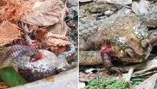 Pesquisa detalha técnica de cobra que devora órgãos de sapos vivos