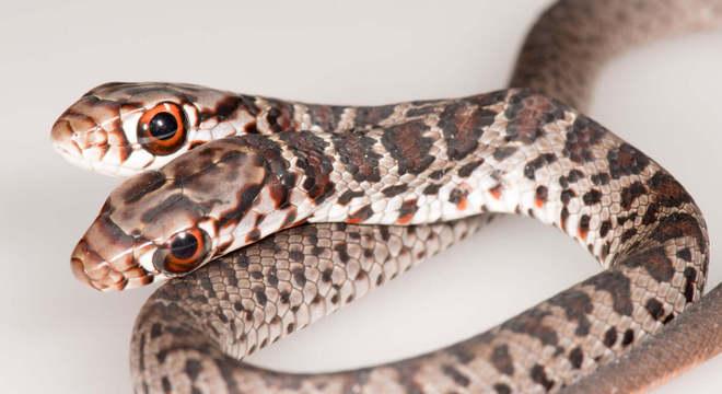 Serpente não-venenosa pertence a espécie corredor negro do sul