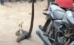 Felizmente, ninguém ficou ferido. O réptil foi capturado e entregue ao departamento florestal localJá outra cobra-rei só queria saber de esfriar a cabeça. Entenda a seguir!
