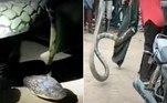 Uma cobra-rei com cerca de 4 m de comprimento — equivalente ao de um Fusca — praticamente atropelou uma moto, no vilarejo de Poleru, na Índia
