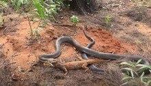 Encontro assustador: cobra muito venenosa devora lagarto gigante