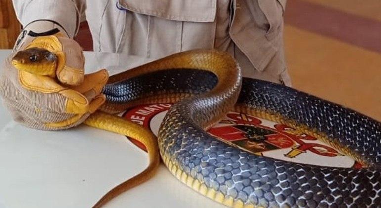 Cobra jararacuçu do papo amarelo foi encontrada em uma casa de Alta Floresta (MT)