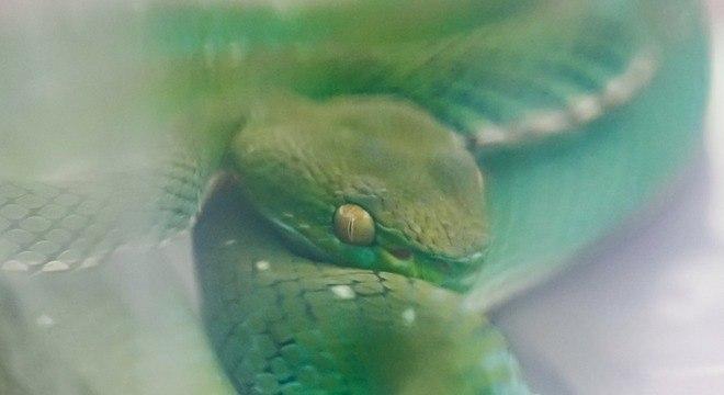 Cobra não tem soro disponível para seu veneno no Brasil