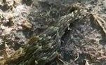 As larvas foram identificadas como de mosquitos de fungos, que medem cerca de 6 mm cada umaTambém na Tailândia, um homem retirou um verme de cerca de 10 metros de dentro do corpo. Veja a seguir!