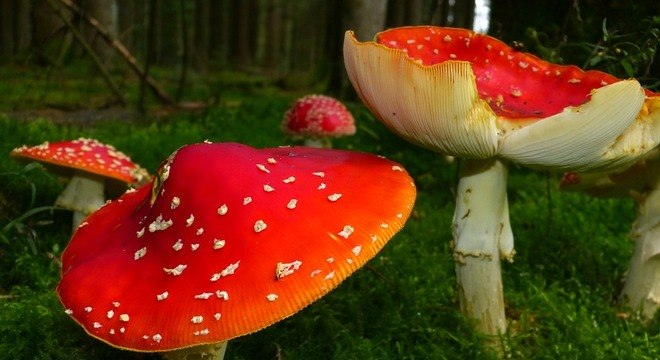 A Amanita muscaria é um dos cogumelos que causam efeitos alucinógenos