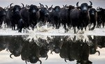 04/01/2018.- A herd of some 120 black buffaloes is reflected on the water as they are driven in from their winter habitat in the Kiskunsag National Park to the animal farm of Fulopszallas, Hungary, 04 January 2018 (reissued 25 May 2020). Black is synonymous with darkness and represents the total opposite of white. It is commonly used to symbolize danger, evil, death and mourning, but is also connected to positive notions like strength, elegance and sophistication. (Hungría, Búfalo) EFE/EPA/SANDOR UJVARI HUNGARY OUT -- ATTENTION: This Image is part of a PHOTO SET *** Local Caption *** 53987005