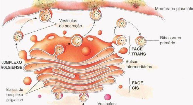 Complexo de Golgi, o que é? Definição, estrutura e funções
