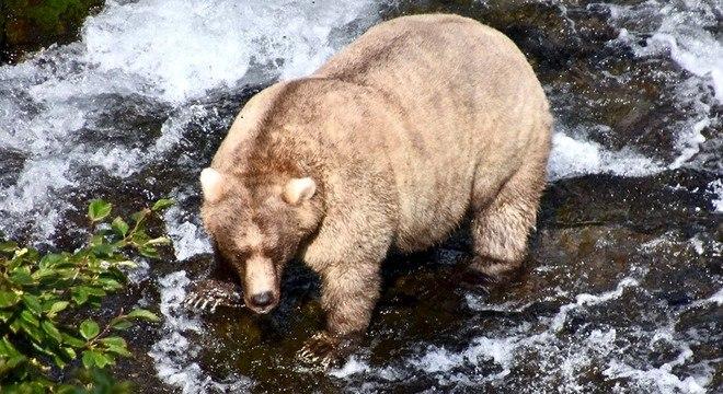 Concurso para eleger o urso mais gordo ocorre  anualmente no parque do Alasca