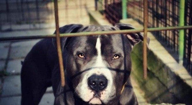 Conheça a história do cachorro pit bull que pensa que é um gato