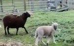 'Se a perna extra começar a causar problemas, veremos como removê-la', pontuouJá uma dupla de cordeiros nascida com anomalias severas chocou uma população rural na Indonésia. Confira a seguir!