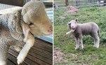 O cordeiro acima nasceu com uma perna extra pendurada na lateral da cabeça. Anomalia que transformou o bicho em uma verdadeira celebridade na Austrália