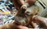 Um vizinho identificado comoKurnia disse que o proprietário dos animais, chamado Lia, tem feito o possível para que os recém-nascidos sobrevivam