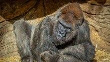 Gorilas do zoológico de San Diego testam positivo para covid-19
