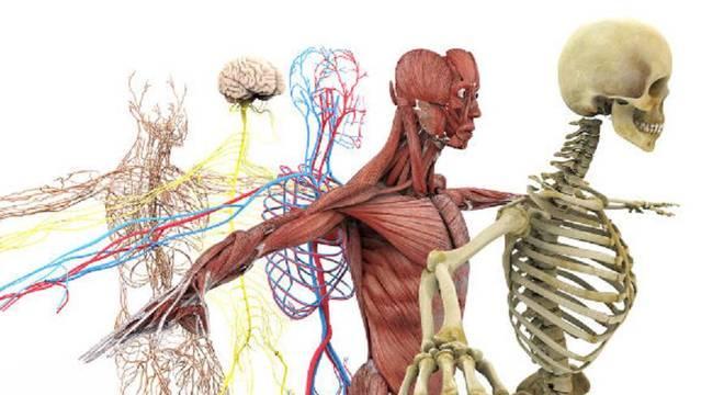 Corpo humano - divisão e quais as funções de cada parte do organismo