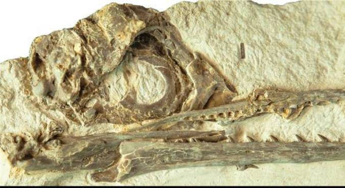 Crânio intacto ajudou na pesquisa sobre cérebros das aves