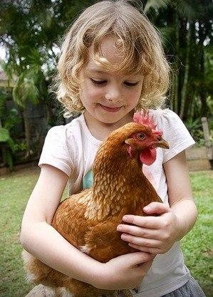 Galinhas podem causar infecção grave por salmonella em crianças