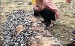 Normalmente se agarram à pedaços de madeira, cascos de madeira ou outros detritos no mar