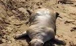Um especialista local afirmou que o animal pode ser um texugo, que ficou na água muito tempo e perdeu os pelos