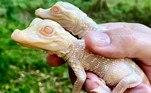 Zoológico na Flórida registra nascimento de crocodilos albinosVEJA MAIS