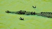 Crocodilo em pose de aviãozinho esconde técnica mortal de caça