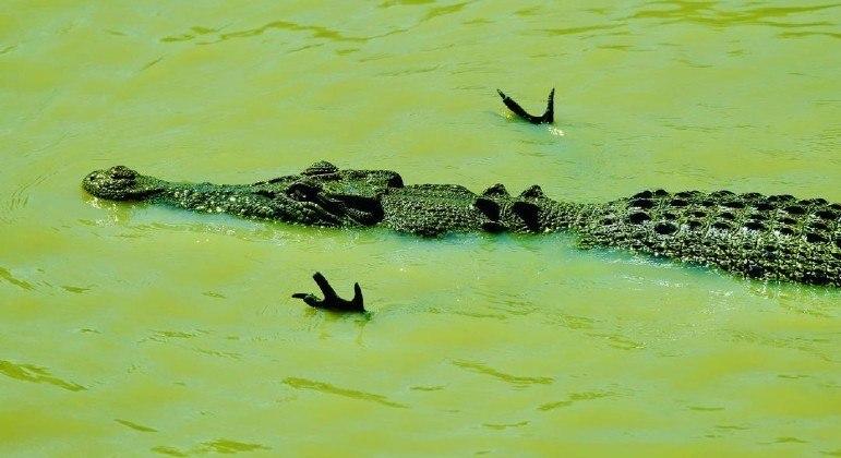 Pose de aviãozinho adotada por crocodilo esconde técnica letal de cala, segundo especialista