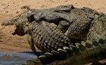 Um crocodilo com comprimento aproximado ao de um Celta (3,9 m x 3,7 m) foi flagrado durante umato feroz de canibalismo, noParque Nacional Kruger, na África do Sul