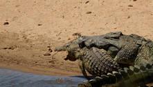 Crocodilo maior do que um Celta é flagrado durante ato canibal