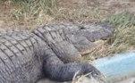 Recentemente, o corpo de um adolescente desaparecido foi encontrado dentro de um crocodilo. Veja essa história a seguir