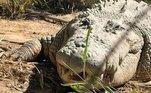 Ele morava emKoorana Crocodile Farm desde que foi capturado em 1984, e era o segundo maior crocodilo em cativeiro na Austrália