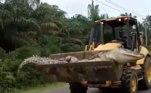 O réptil de 4,5 metros de comprimento foi caçado por aldeões nas Ilhas Bangka Belitung, Indonésia, na semana passada