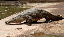 Crocodilos fogem de criadouro e são caçados na África do Sul