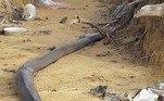 Você já se perguntou o que acontece quando a maior cobra venenosa do mundo (a naja-rei) briga com amaior cobra do mundo(a píton-reticulada)? Não é exatamente uma coisa boa