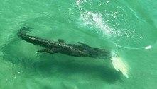 Crocodilo com comprimento de Kombi abate tartaruga em alto mar