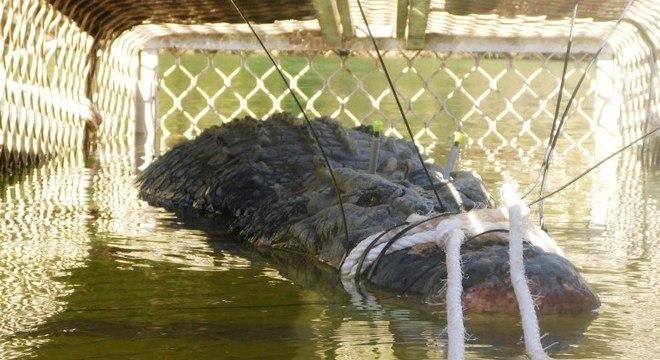 O crocodilo de água salgada tem idade estimada em pelo menos 60 anos