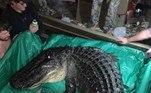 Segundo aComissão de Caça e Pesca do Arkansas, esse foi o maior crocodilo caçado na história do Arkansas