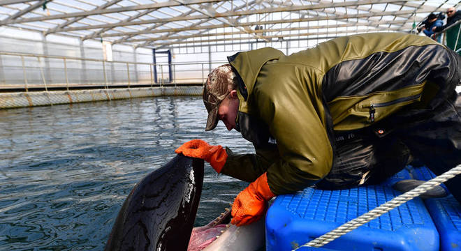 Cuidador examina orca na região da baía de Srednyaya